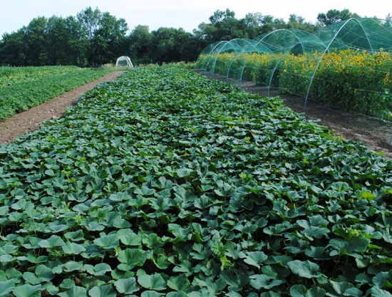 okra breeding Expert reviewed how to grow okra three parts: planting okra caring for okra harvesting and using okra community q&a okra is a vegetable that keeps on giving all summer long when you harvest a pod, another grows in its place.